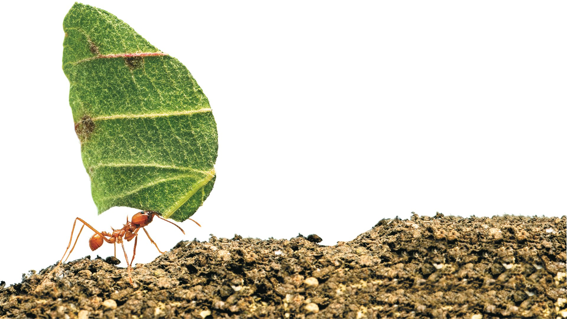 Close-up of an ant walking on gravel carrying a leaf several times its size