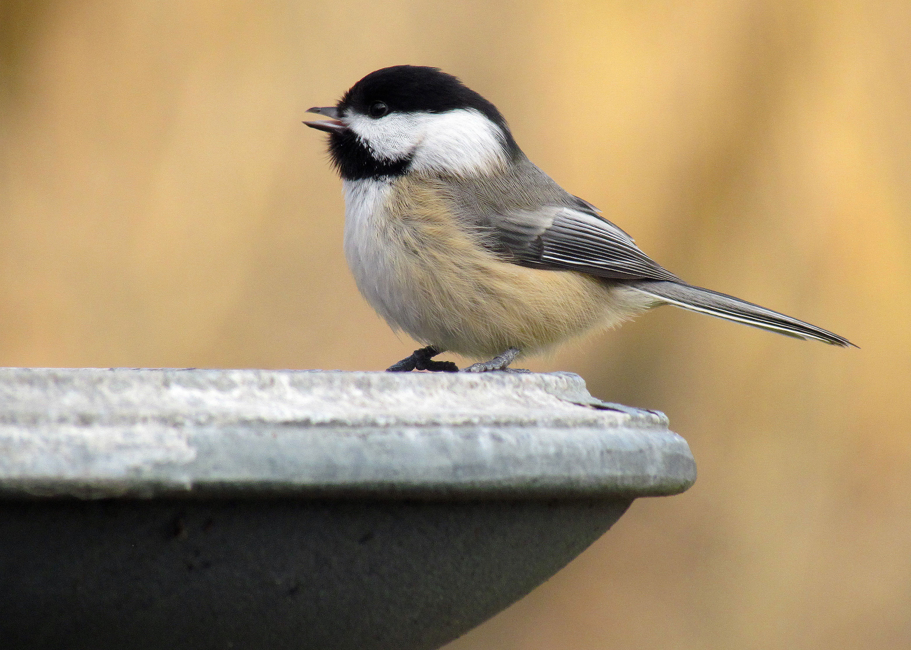 warming temperatures are pushing two chickadee species u2014and their
