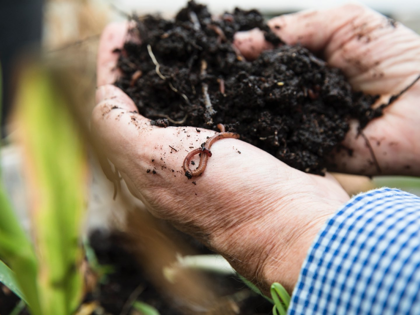 Close-up of Edward Guinan's hands covered in soil and earthworms.