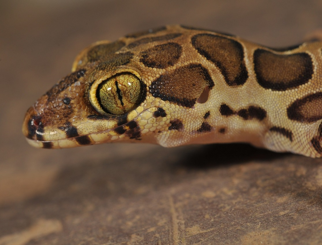 Villanova Biologists Part of Research Team to Discover New Species of Gecko from Western India